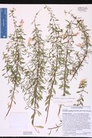 Conradina cygniflora image