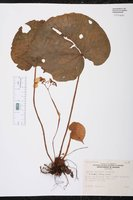 Begonia popenoei image