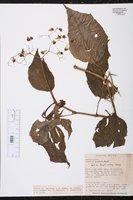 Begonia glabra image