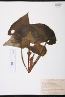 Begonia strigillosa image