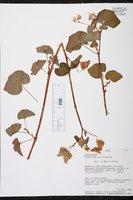 Begonia fischeri image