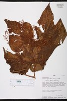 Begonia parviflora image