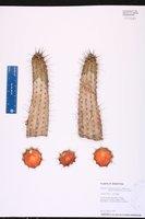 Echinopsis thelegona image