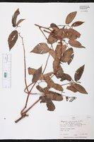 Image of Begonia peruviana
