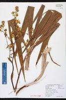 Cyrtopodium flavum image
