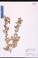 Maytenus phyllanthoides image