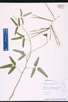 Macroptilium lathyroides image