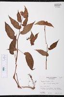 Image of Begonia heydei