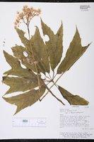 Begonia thiemei image