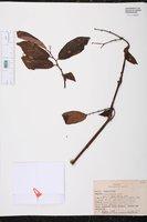Begonia estrellensis image