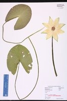 Nymphaea jamesoniana image