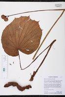 Begonia multistaminea image