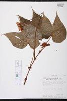 Begonia involucrata image