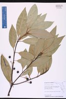 Persea borbonia var. borbonia image