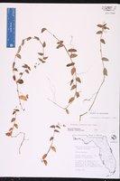 Callisia cordifolia image