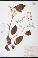 Begonia convallariodora image