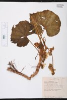 Begonia sericoneura image