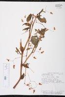 Begonia hirsuta image