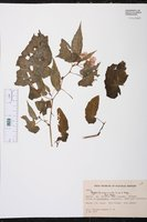 Begonia incarnata image