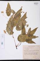 Begonia hirtella image