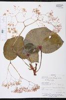 Begonia manicata image