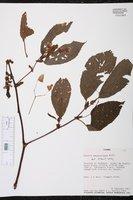 Image of Begonia seemanniana