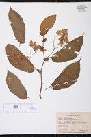Begonia seemanniana image