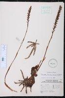 Galeoglossum tubulosum image