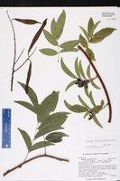 Callerya reticulata image