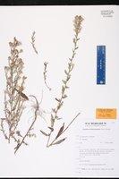 Symphyotrichum fontinale image