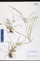 Cyperus hyalinus image
