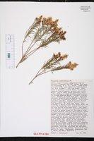 Melaleuca linariifolia image