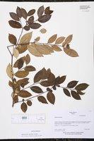 Image of Ophellantha spinosa