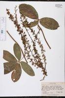 Image of Dioscorea crotalariifolia