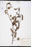 Image of Hibiscus striatus