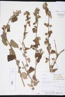Image of Pavonia sidifolia