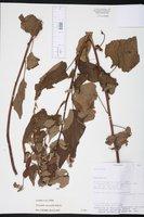 Wissadula macrantha image