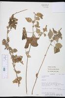 Image of Wissadula densiflora