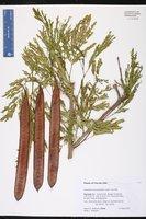 Leucaena leucocephala image