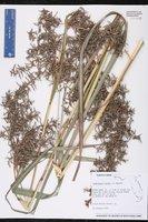 Cymbopogon nardus image