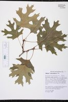 Quercus × palaeolithicola image