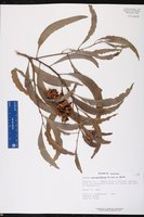 Acacia auriculiformis image