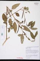 Corchorus olitorius image
