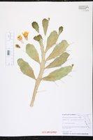 Brasiliopuntia brasiliensis image