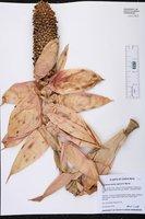 Image of Aechmea mariae-reginae