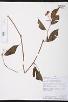 Begonia peruviana image