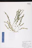 Astragalus obcordatus image