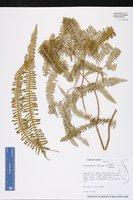 Dicranopteris flexuosa image