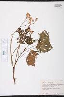 Begonia purpusii image