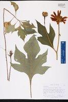 Tithonia diversifolia image